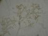 Mold picture- Cladosporium Spores