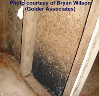 Basement black mold- one of the many types of mold found in basements